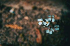 Närbild av små vita isolerade blommor av arabisalpinaen arkivbild