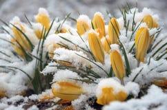 Närbild av snö-täckte gula blommande krokusar arkivfoton
