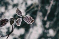 Närbild av snöig sidor av den rosa rubiginosaen royaltyfri foto