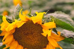 Närbild av solblomman mot ett grönt gult sommarfält royaltyfria bilder