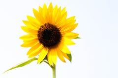 Närbild av solblomman och blå himmel - bild fotografering för bildbyråer