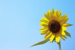 Närbild av solblomman och blå himmel - bild arkivfoton