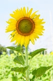 Närbild av solblomman på fält Arkivbild