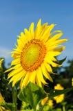 Närbild av solblomman på fält Arkivbilder
