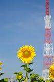 Närbild av solblomman på fält Royaltyfria Foton