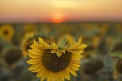 Närbild av solrosen i fältet arkivfoton