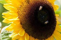 Närbild av solrosen med två bin Arkivfoto