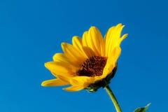 Närbild av solrosen mot en blå himmel i Montana med ett bi Royaltyfria Foton