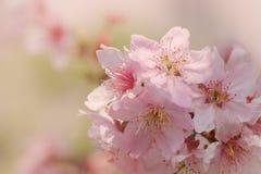 Närbild av Someiyoshino Cherry Blossom Sakura med suddighetsbakgrund i vår arkivbild