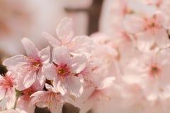 Närbild av Someiyoshino Cherry Blossom Sakura med suddighetsbakgrund i vår royaltyfri fotografi