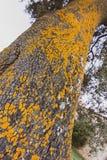 Närbild av stammen av ett träd med textur och gula färger mot bakgrund field bl?a oklarheter f?r gr?n vitt wispy natursky f?r gr? arkivfoton
