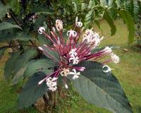 Närbild av Starbust Bush eller Glorybower blommor arkivfoton