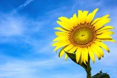 Närbild av sunblomman mot en blåttsky Royaltyfria Bilder