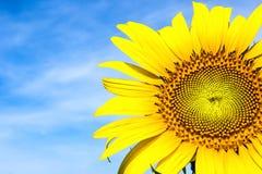 Närbild av sunblomman mot en blåttsky Royaltyfri Foto