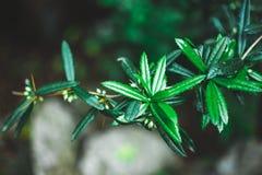 Närbild av taggiga tjocka gröna sidor med små bär på filialerna royaltyfria bilder