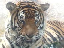 Närbild av tigern Arkivfoton