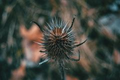 Närbild av torkad dipsacusfullonumfrukt fotografering för bildbyråer