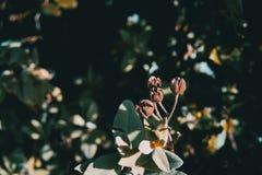 Närbild av torra frukter av juniperusoxycedrusen royaltyfria bilder