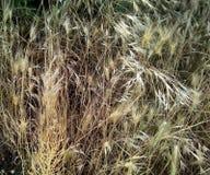 Närbild av torrt vetegräs på en mörk bakgrund royaltyfri bild
