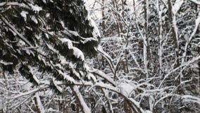 Närbild av trädfilialer i insnöad vinterskog arkivfilmer