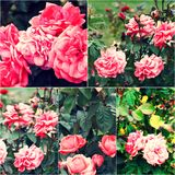 Närbild av trädgårds- rosor på busken Collage av colorized bilder Tonad fotouppsättning Arkivfoto