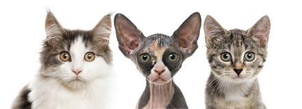 Närbild av tre katter som ser kameran Arkivbilder