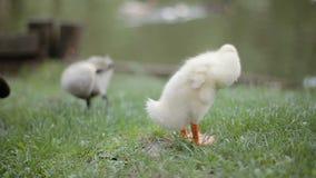 Närbild av två ankungar som gör ren deras fjäder på ett grönt gräs i en parkera på vattenkanten lager videofilmer