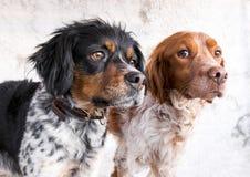Närbild av två avelhundkapplöpning royaltyfri fotografi