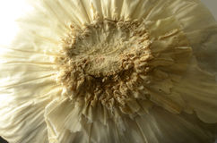 Närbild av undersidan av vitlökkulan Royaltyfria Bilder