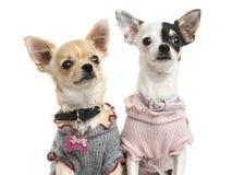 Närbild av utklädda Chihuahuas som ser upp Arkivfoto