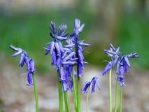 Närbild av vårblåklockor i skogsmark royaltyfri fotografi