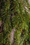 Närbild av vattensmå droppar på filialerna av en julgran som ner knackar med en mjuk suddig bakgrund royaltyfri foto
