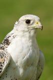 Närbild av vit gyrfalcon som stirrar in i avstånd Royaltyfri Bild