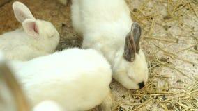 N?rbild av vita fluffiga kaniner som ?ter i en bur Gulliga fluffiga kaniner lager videofilmer