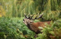 Närbild av vråla för röda hjortar Royaltyfri Fotografi