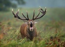 Närbild av vråla för röda hjortar royaltyfri foto