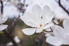 Närbild blommande vit magnolia Royaltyfria Bilder