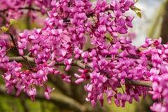 """Närbild canadensis för Cercis av för östlig Redbud blomma†"""" arkivfoton"""