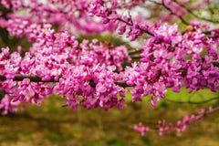 """Närbild canadensis för Cercis av för östlig Redbud blomma†"""" royaltyfri bild"""