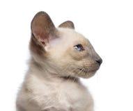 Närbild en orientalisk Shorthair kattunge, 9 veckor Arkivfoton