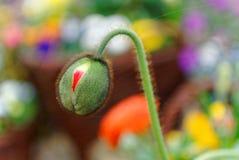 Närbild för anemonblommaknopp i vårträdgård Royaltyfri Bild