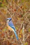 Närbild för blå nötskrika på träd Royaltyfria Bilder