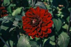 Närbild för färg för enkel krysantemumblomma mörkröd Fotografering för Bildbyråer
