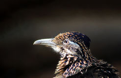 Närbild för fågel för väglöpare Royaltyfri Foto