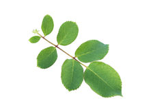 Närbild för gräsplanrosblad Royaltyfri Bild