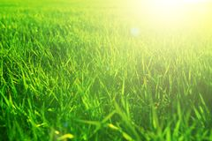 Närbild för grönt gräs i solnedgång Sommar- eller våräng Sommar- eller vårängnatur Arkivfoton