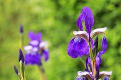 Närbild för irissibiricaSibirian iris i en grupp med grön backg royaltyfria foton