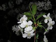 Närbild för körsbärblomningar på natten på en vårdag arkivbild