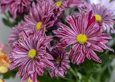 Närbild för konstnär för blommakrysantemumkonstnär rosa rosa fotografering för bildbyråer