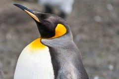Närbild för konungpingvin Arkivfoto